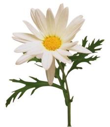 a real daisy