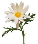 43414_real-daisy
