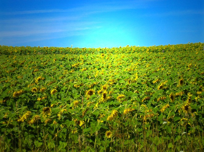 Field of Sunny Dreams...